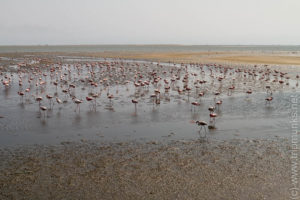 Flamingos in Walwis Bay